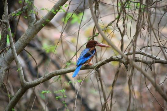 King Fisher in Ranthambore